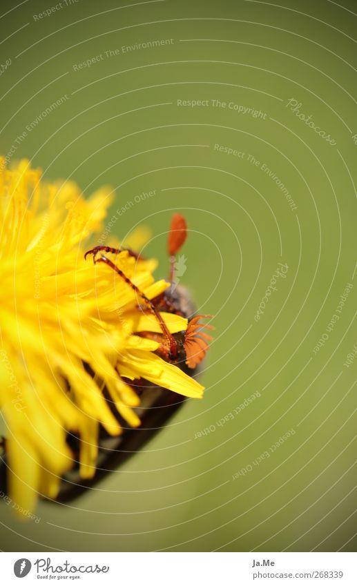 Umarme mich! grün Tier gelb Blüte Wildtier Löwenzahn Käfer Maikäfer