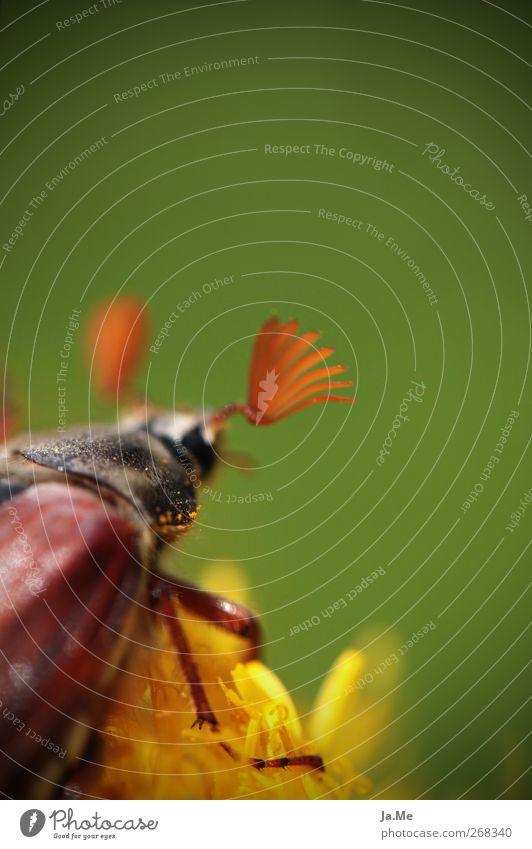 auf Empfang eingestellt... Blüte Löwenzahn Tier Wildtier Käfer Maikäfer 1 braun gelb grün Farbfoto Außenaufnahme Makroaufnahme Tag