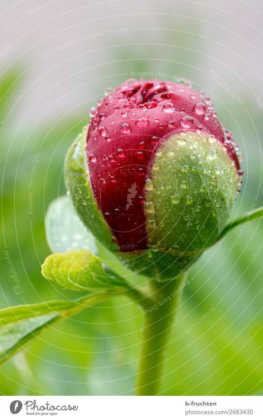 Pfingstrose-Knospe mit Wassertropfen harmonisch ruhig Regen Pflanze Blume Blüte Garten Park frisch nass grün rot Blütenknospen Frühling Wachstum Erneuerung