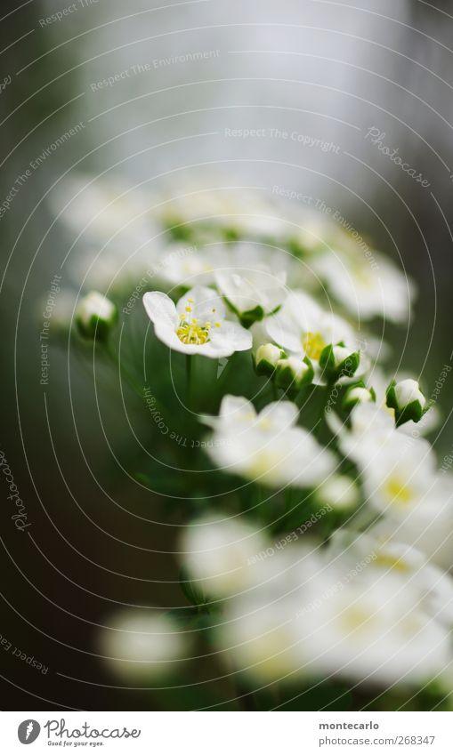 Er kommt.......der Frühling Natur weiß grün schön Pflanze Blume Blatt Umwelt klein Blüte Park Wind elegant natürlich frisch