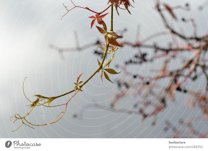 Triebhafte Natur Natur grün Pflanze Blatt Umwelt Bewegung wild frisch Wachstum neu Wandel & Veränderung hängen Leichtigkeit Beeren Vorfreude Trieb