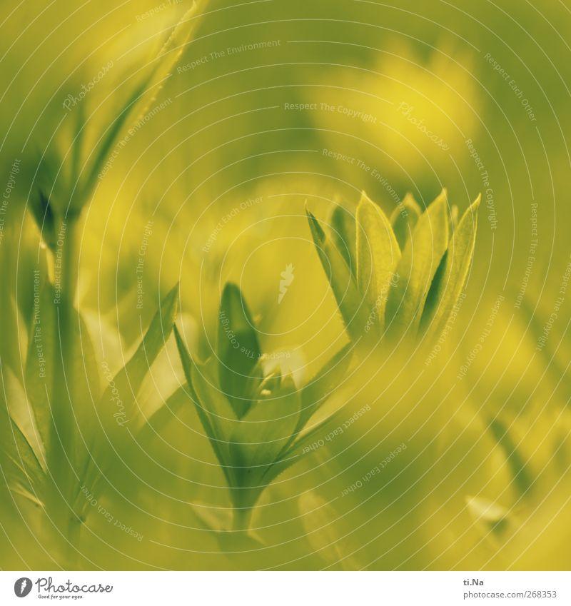 waldmeister Frühling Pflanze Blatt Waldmeister Garten Wachstum klein natürlich gelb grün Farbfoto Gedeckte Farben Außenaufnahme Nahaufnahme Detailaufnahme