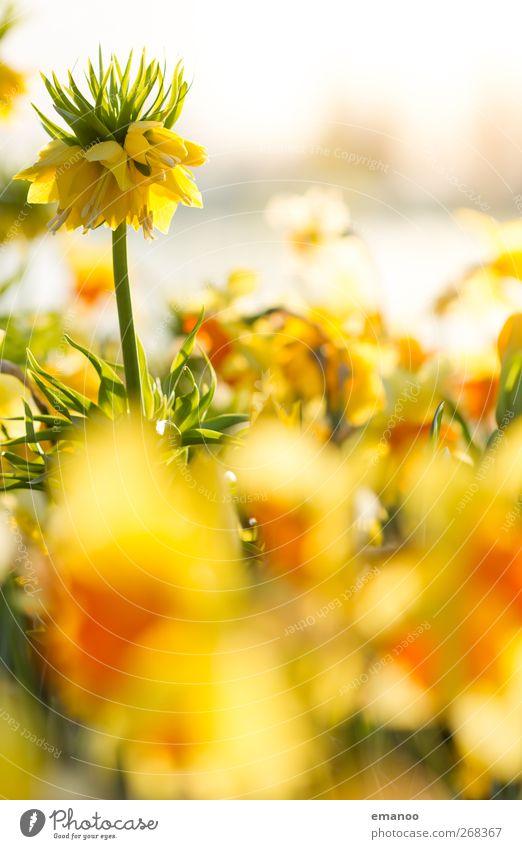Blumenmeer am See Natur Landschaft Pflanze Sonne Frühling Sommer Wetter Blüte Topfpflanze exotisch Garten Park stehen Wachstum groß hell hoch schön gelb Duft