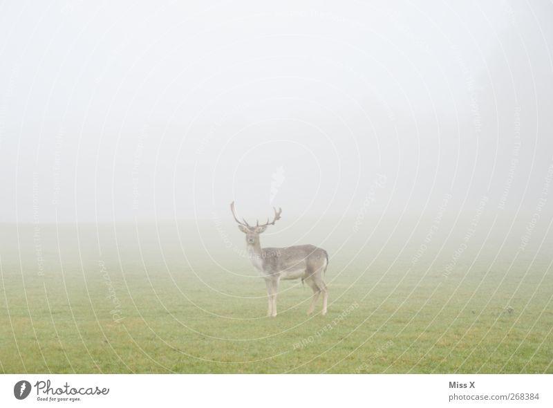 im Nichts Natur Tier Gras Wildtier Nebel Hirsche schlechtes Wetter Schüchternheit Reh