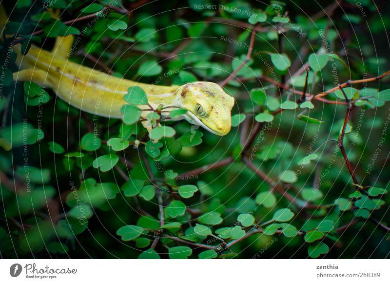 Gecko Natur grün Ferien & Urlaub & Reisen Tier Farbe ruhig gelb Leben warten elegant sitzen Abenteuer Sträucher beobachten verstecken Wachsamkeit