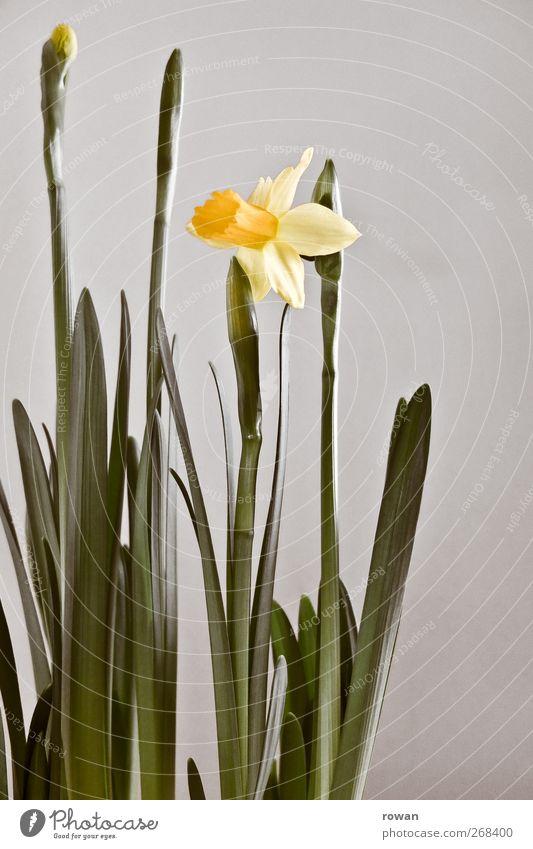narzisse Pflanze Blume Blüte gelb Frühling Narzissen grün Dekoration & Verzierung Wachstum schön Blühend zart Farbfoto Menschenleer Hintergrund neutral Tag