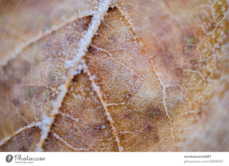 Unscharfe Details eines gefrorenen Orangenblattes im Winter zerbrechlich ruhig Nahaufnahme Temperatur kalt Unschärfe Menschenleer Fokus auf den Vordergrund