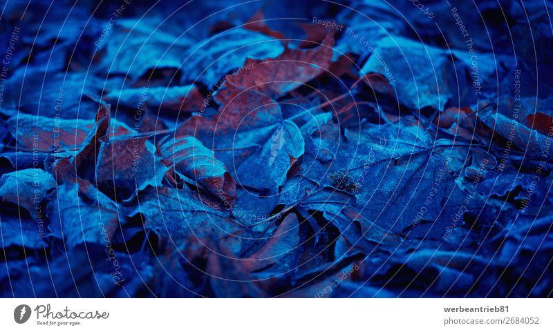 Gefrorenes und blaues Laub Blatt Herbstfärbung Herbstlaub Üppiges Laub Unschärfe gefroren Temperatur kalt Natur Winter Frost Menschenleer Jahreszeiten