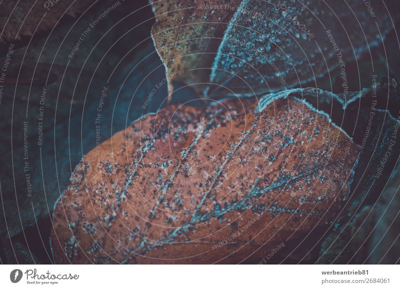 Gefrorene Blätter im Winter Nahaufnahme matt - Bildtechnik gefroren Blatt Wachstum Dezember zerbrechlich Hintergrundbild Baum Makroaufnahme Herbst Eiskristall