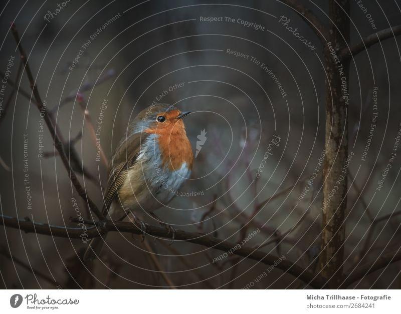 Rotkehlchen in der Dämmerung Natur blau Baum Tier ruhig Herbst gelb Umwelt klein orange Vogel braun leuchten Wildtier Idylle Feder