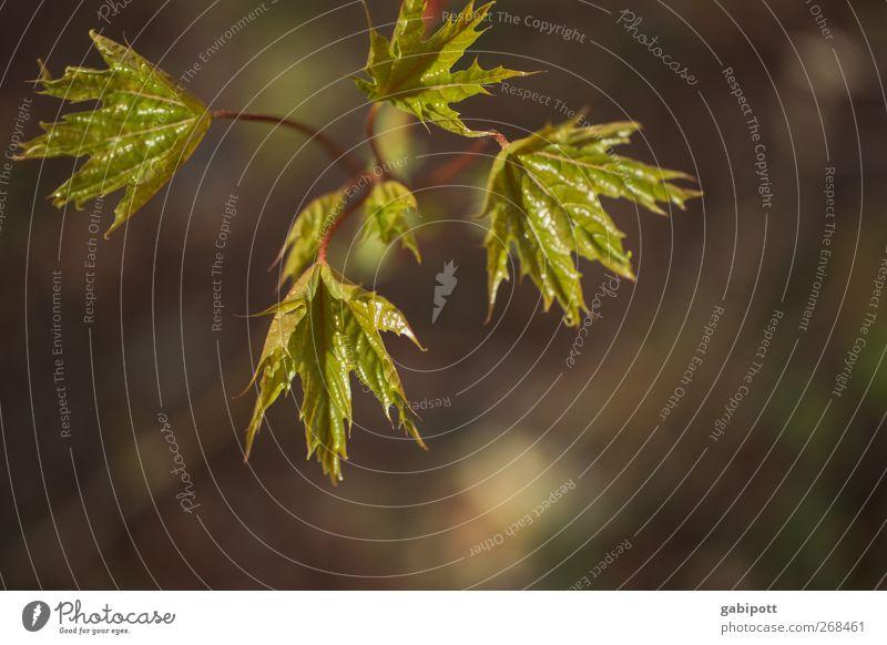 start up Umwelt Natur Pflanze Frühling Schönes Wetter Baum Blatt Grünpflanze entdecken Wachstum frisch saftig braun grün Lebensfreude Frühlingsgefühle Beginn