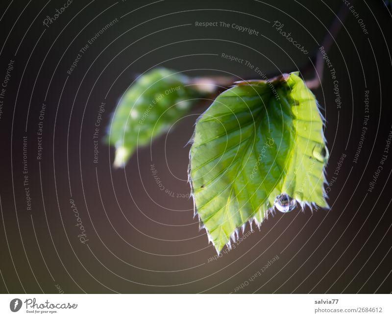 taufrisch Umwelt Natur Pflanze Frühling Baum Blatt Zweig Buchenblatt Park Wald weich braun grün Stimmung Tropfen nass Tau Wasser Farbfoto Gedeckte Farben