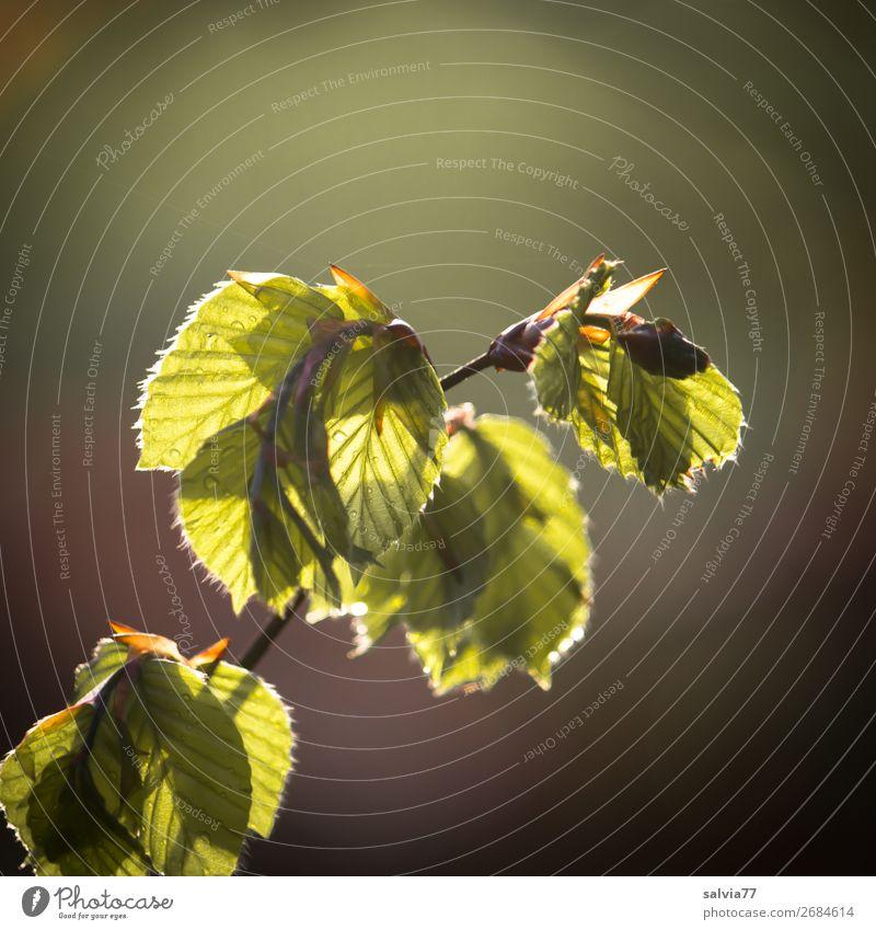 Buchenzweig Umwelt Natur Frühling Baum Sträucher Blatt Zweige u. Äste Buchenblatt Wald frisch weich grün Gegenlicht Farbfoto Außenaufnahme Nahaufnahme