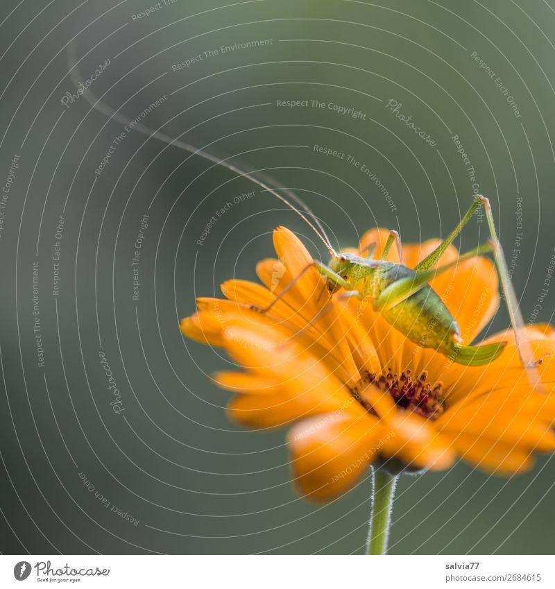 lange Fühler Umwelt Natur Sommer Pflanze Blume Blüte Nutzpflanze Ringelblume Garten Tier Heuschrecke Insekt 1 Blühend Duft entdecken krabbeln Langfühlerschrecke