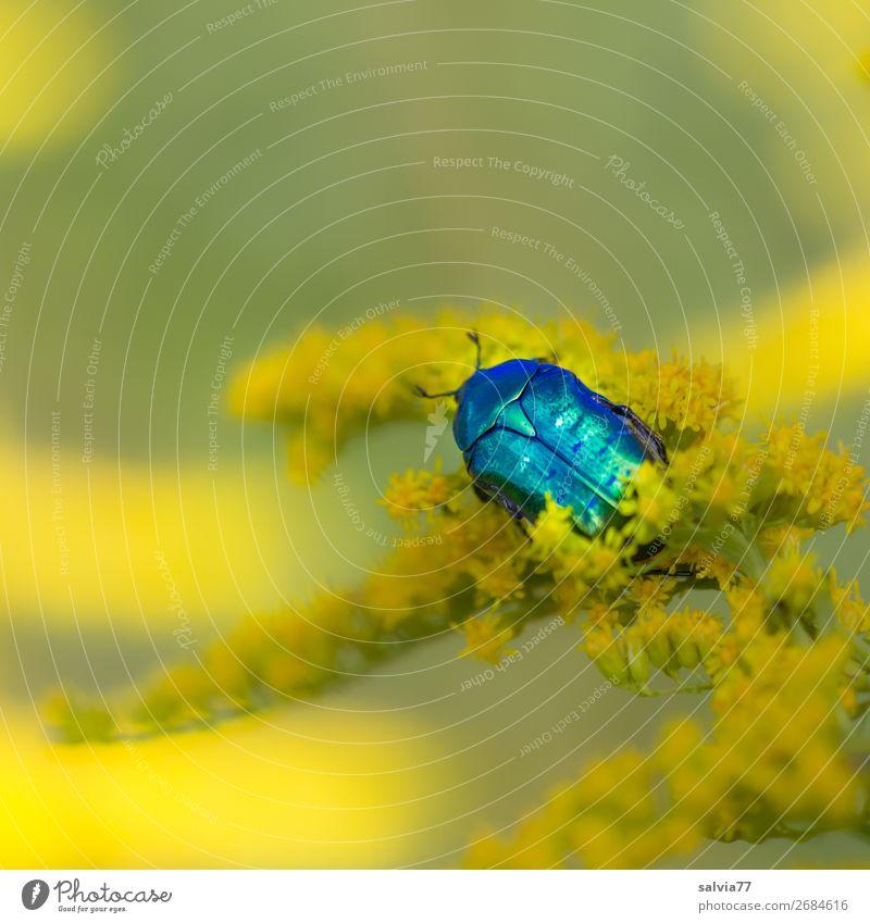 smaragdgrün Umwelt Natur Pflanze Tier Sommer Blume Blüte Kanadische Goldrute Garten Käfer Rosenkäfer Insekt 1 Blühend Duft genießen krabbeln ästhetisch glänzend