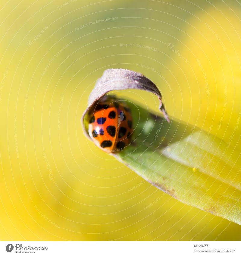 Schutz suchen! Umwelt Natur Pflanze Tier Sommer Blume Blatt Käfer Marienkäfer Insekt 1 Wärme gelb Farbfoto Außenaufnahme Makroaufnahme Menschenleer