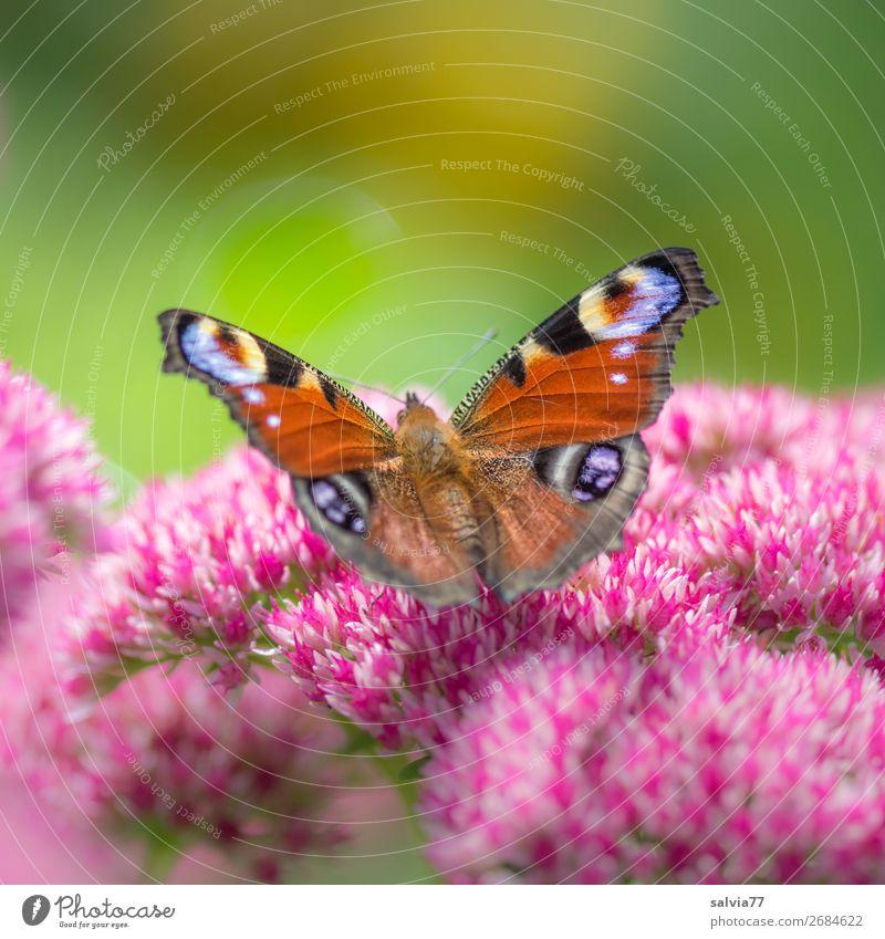 blaue Augen Umwelt Natur Sommer Blume Blatt Garten Schmetterling Flügel Insekt Tagpfauenauge Blühend Duft ästhetisch Farbfoto Außenaufnahme Nahaufnahme