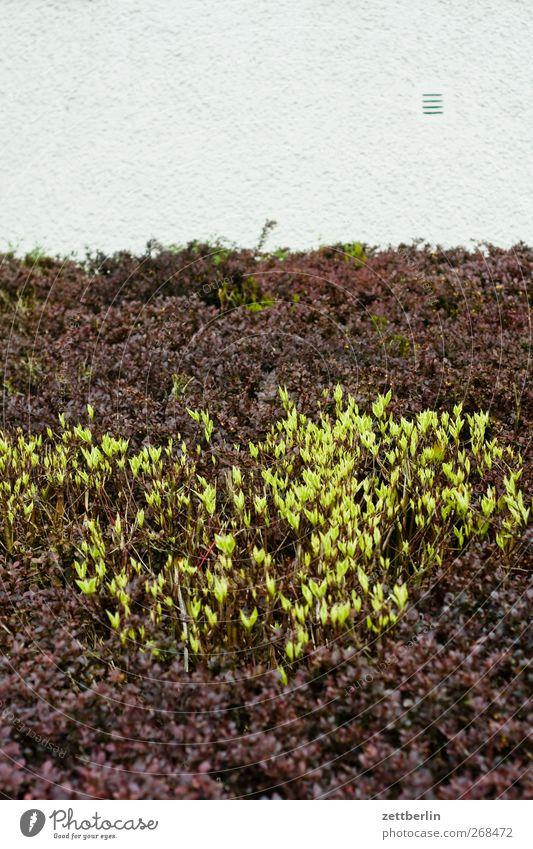 Hecke Natur Pflanze Umwelt Landschaft Wand Frühling Farbstoff Garten Blüte Wachstum historisch Putz Schrebergarten Grünpflanze Nutzpflanze