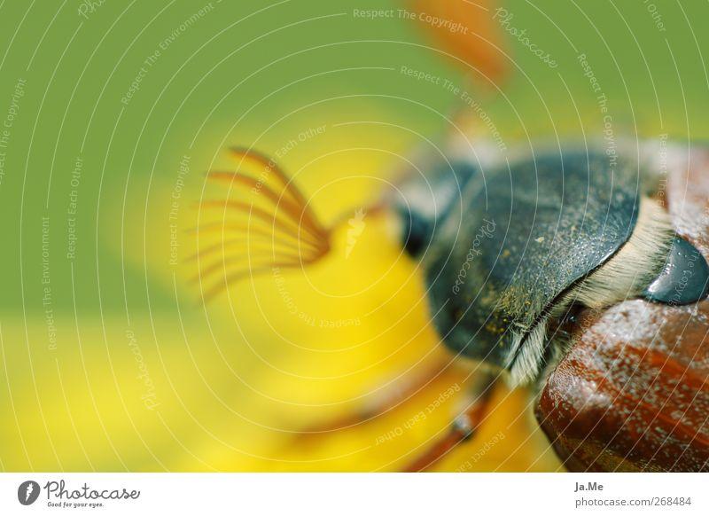 ...jetzt wird's haarig! Tier Wildtier Käfer Maikäfer Panzer 1 braun gelb grün Farbfoto Außenaufnahme Detailaufnahme Makroaufnahme Tag Schwache Tiefenschärfe
