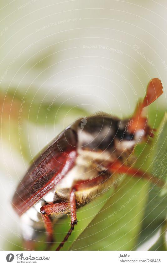 An einem Tag im Mai... Tier Wildtier Käfer Maikäfer Käferbein Tierporträt 1 braun grün Farbfoto Außenaufnahme Detailaufnahme Makroaufnahme