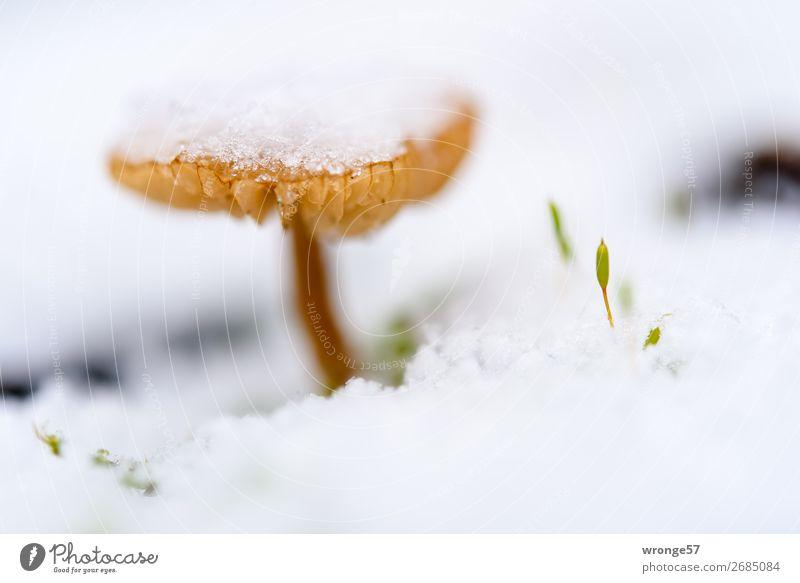 Pilz mit Schneemütze Natur Pflanze Winter Eis Frost frieren kalt klein braun weiß Schneefall Makroaufnahme Querformat Nahaufnahme bodennah Farbfoto
