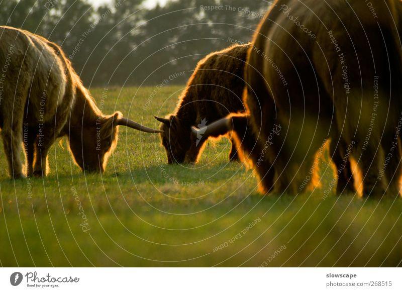 zottelige Kuhherde im Abendlicht Erholung ruhig Landwirtschaft Forstwirtschaft Natur Sonnenaufgang Sonnenuntergang Sonnenlicht Sommer Herbst Schönes Wetter Tier