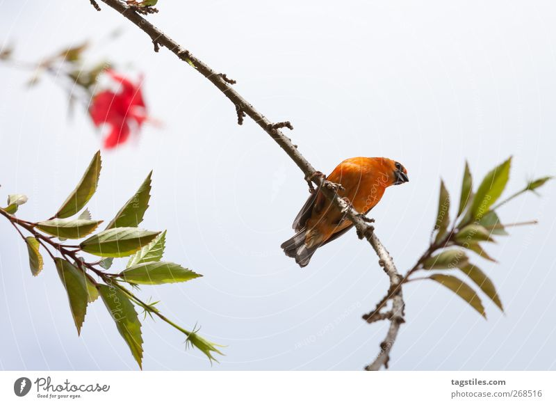 \\i/ Natur Ferien & Urlaub & Reisen rot Blatt Erholung Vogel orange sitzen Reisefotografie Pause Ast exotisch Spatz ausruhend Composing Seychellen