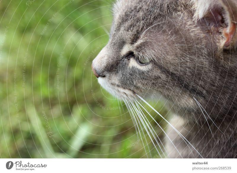 Liebeskummer Frühling Gras Garten Tier Haustier Katze Tiergesicht Fell 1 beobachten Blick Hauskatze Ohr grau Schnurrhaar grün Farbfoto Außenaufnahme Nahaufnahme