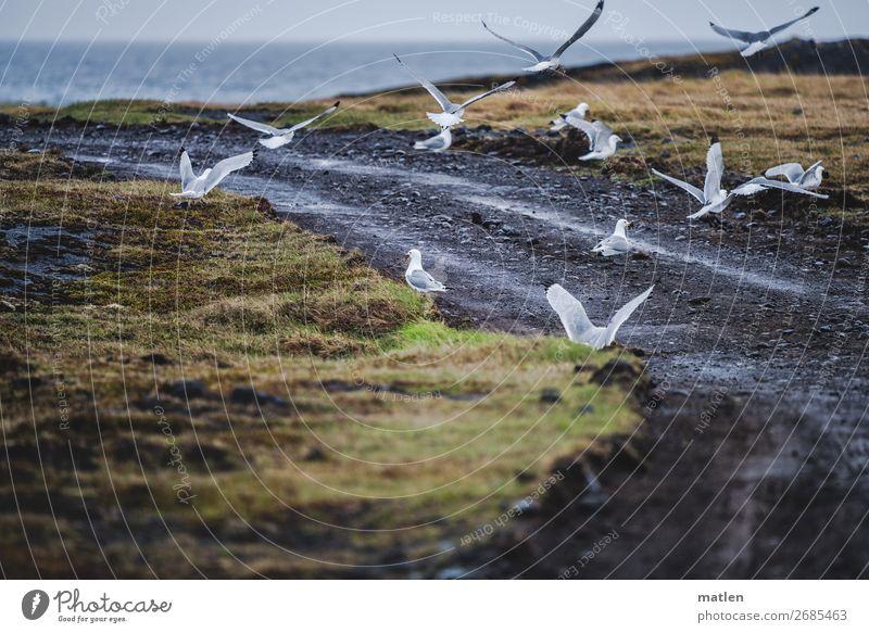 Islandmöwen Natur Landschaft Pflanze Tier Himmel Wolken Horizont Frühling schlechtes Wetter Regen Gras Meer Menschenleer Vogel Schwarm fliegen dunkel blau gelb
