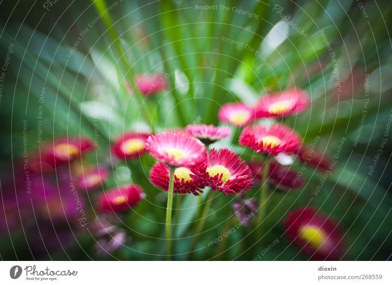 sweet 35 Umwelt Natur Pflanze Frühling Sommer Blume Blüte Garten Park Blühend Wachstum natürlich gelb grün rosa Frühlingsgefühle Farbfoto Außenaufnahme