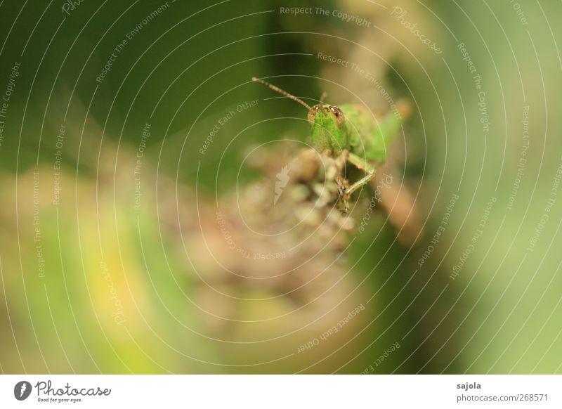 hoi schreck Natur Tier Heuschrecke Insekt 1 beobachten festhalten Blick grün Tarnung Anpassung Farbfoto Außenaufnahme Nahaufnahme Makroaufnahme Menschenleer