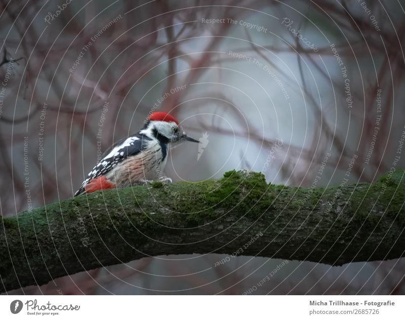 Specht in der Dämmerung Natur Pflanze grün weiß rot Baum Tier schwarz Herbst Umwelt natürlich klein Vogel leuchten Wildtier sitzen