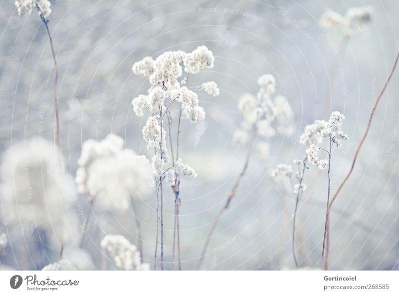 Frost Natur Pflanze Winter Umwelt kalt Gras Blüte hell Sträucher Seeufer Schilfrohr
