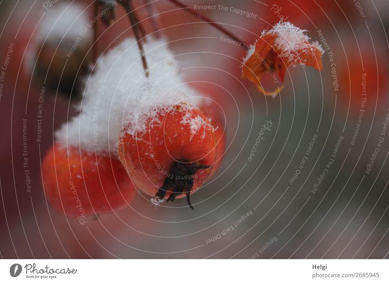 Nahaufnahme von Zieräpfeln mit Schneehäubchen Frucht Apfel Umwelt Natur Pflanze Winter Eis Frost Baum Apfelbaum Garten frieren hängen ästhetisch außergewöhnlich