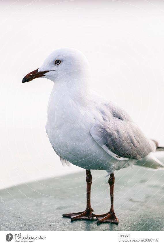die moewe, australien Strand Meer Geldinstitut maskulin Natur Tier Sand Küste Wasserfahrzeug Vogel 1 Gelassenheit ruhig Möwe Gezeiten Licht Sidney Australien