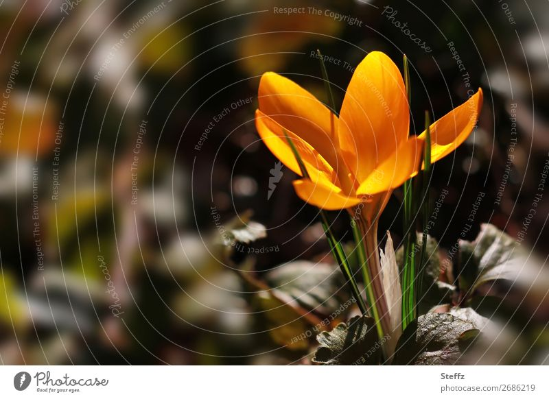 Goldener Krokus Natur Pflanze schön Blatt Umwelt Frühling Garten orange braun Park Wachstum Beginn Blühend neu Vorfreude Blütenblatt