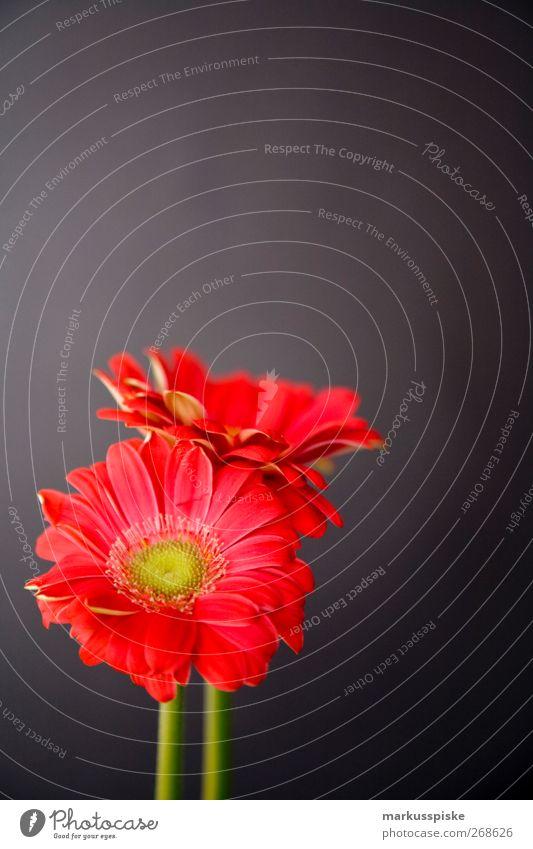 Gerbera Rot rot Pflanze Blume schwarz grau Stil Innenarchitektur Wohnung elegant Design Häusliches Leben Dekoration & Verzierung Lifestyle Blühend Duft