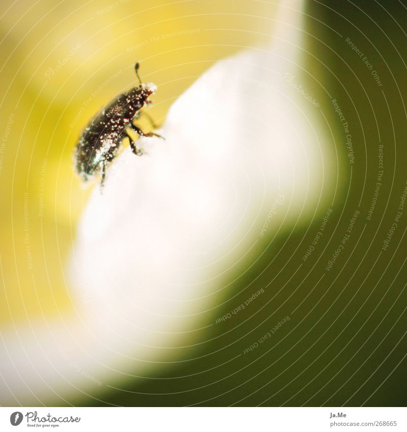 Frisch gepudert! weiß grün Tier schwarz gelb Wildtier Käfer Pollen