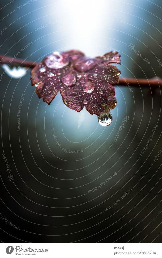 Nasser Herbst kann auch schön Natur Pflanze Wasser Blatt ruhig Leben kalt natürlich Traurigkeit leuchten träumen glänzend trist Wassertropfen nass
