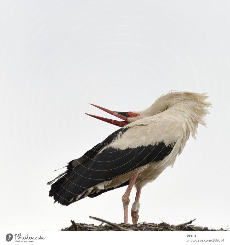 klapper Himmel Natur weiß Tier schwarz Umwelt grau Vogel Wildtier Geburt Storch Weißstorch Storchendorf Linum
