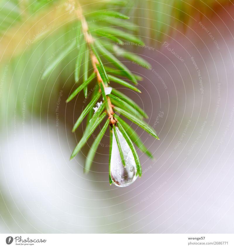 Frohe Weihnachten | Naturschmuck Pflanze Winter Baum Fichte Wald grün Tannenzweig Tannennadel Eiszapfen Frost kalt Nahaufnahme Makroaufnahme Quadrat