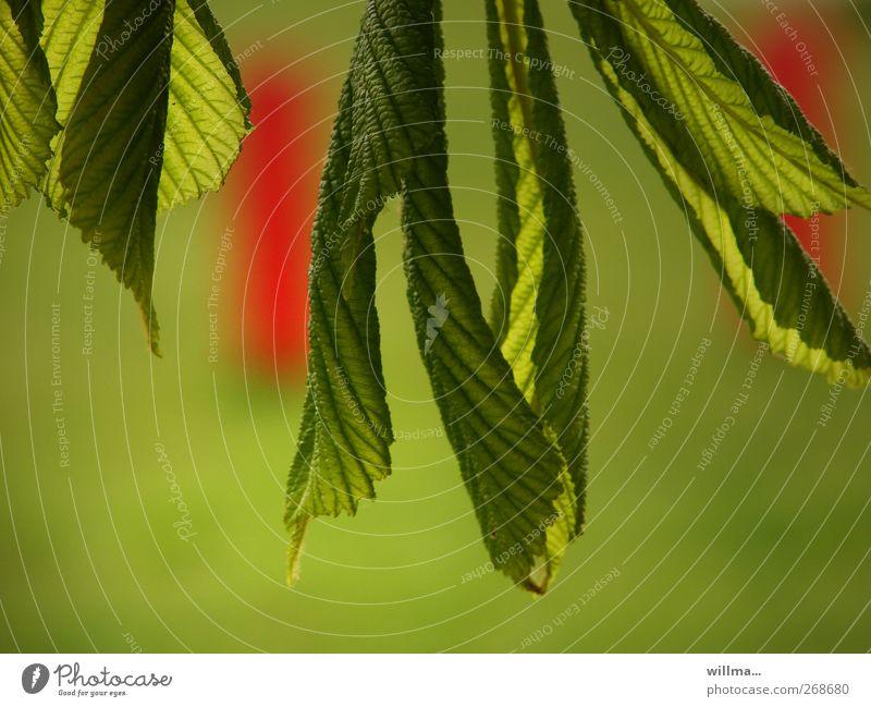 freie entfaltung Natur grün rot Pflanze Blatt Umwelt Frühling Beginn frisch Wachstum Blühend hängen saftig verblüht grünen Kastanienbaum
