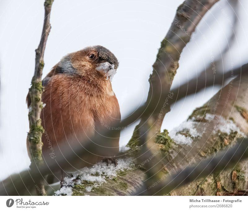 Neugieriger Buchfink Natur Tier Himmel Sonnenlicht Schönes Wetter Schnee Baum Wildtier Vogel Tiergesicht Flügel Krallen Fink Feder Schnabel 1 beobachten Blick