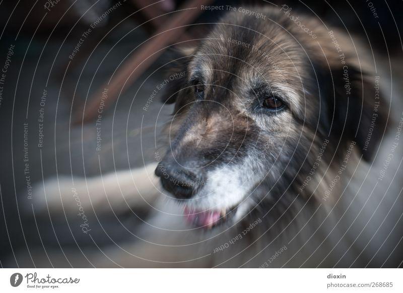 Gustava Tier Haustier Hund Tiergesicht Fell Hundeschnauze Schäferhund 1 liegen schön kuschlig Freundschaft zutraulich Treue Farbfoto Außenaufnahme Tag Unschärfe