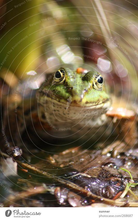 Frosch Wasser grün Blatt Tier Umwelt Wildtier Frosch Froschkönig Froschauge