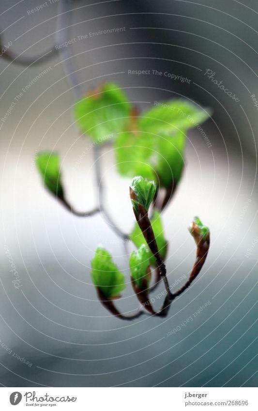 frühlingserwachen Natur Pflanze Frühling Blatt Alpen außergewöhnlich blau braun grün weiß Umwelt Blattknospe Farbfoto Außenaufnahme Nahaufnahme Detailaufnahme