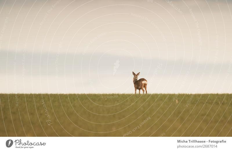 Reh am Horizont Himmel Natur blau grün Landschaft Tier Ferne gelb Umwelt natürlich orange braun Feld Wildtier Idylle