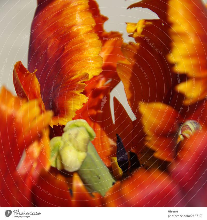 Blumen zum Geburtstag für Sally2001! Natur Pflanze Frühling Tulpe Blüte Papageientulpen Garten Blühend leuchten Duft gelb gold rot Frühlingsgefühle Euphorie