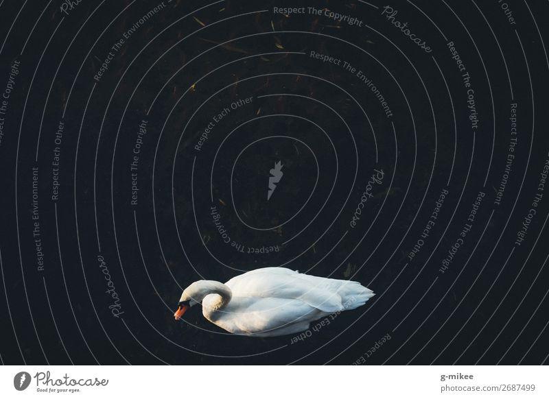 Schwan Wasser Tier 1 elegant schön ruhen Freiheit Einsamkeit Farbfoto Außenaufnahme Luftaufnahme Textfreiraum oben Textfreiraum Mitte Tag Kontrast