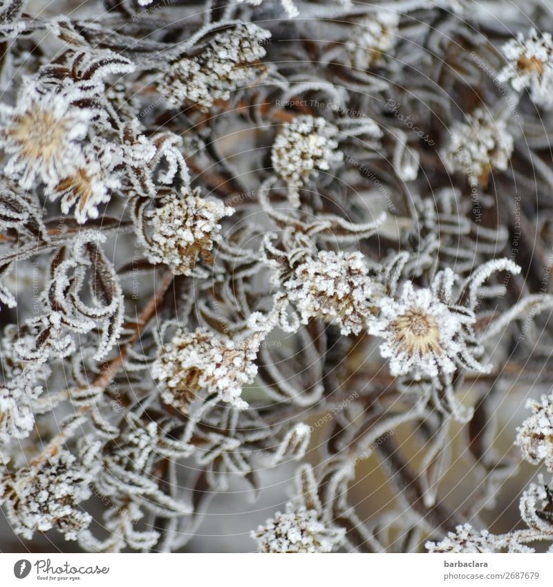Eisblumen Natur Pflanze Winter Frost Sträucher Blatt Blüte Garten ästhetisch kalt silber weiß Stimmung Romantik Design Klima Stil Umwelt Wandel & Veränderung